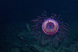 Видео: Гипнотизирующе красивая медуза Halitrephes maasi